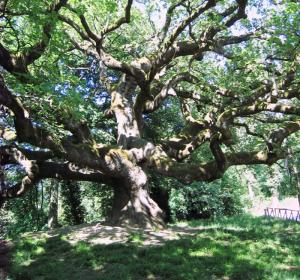 quercia secolare nei pressi di montecarlo di lucca